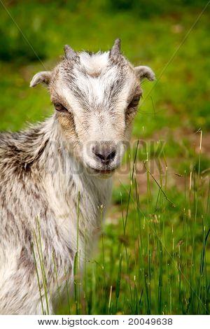 Goat Grazing In A Field