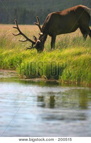 Bull Elk Eating By Stream
