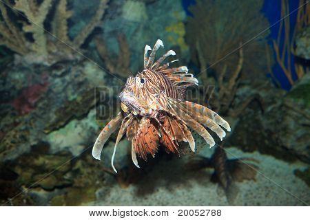 Lionfish Family Scorpaenidae