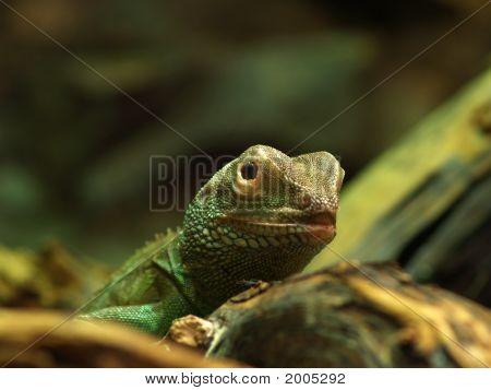 Water Dragon (Physignathus Cocincinus)