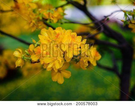 Ochna Integerrima Flowers At Spring