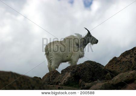 Mtn Goat On Ridge