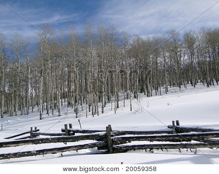 Winter Day With Bare  Aspens, Blue Sky