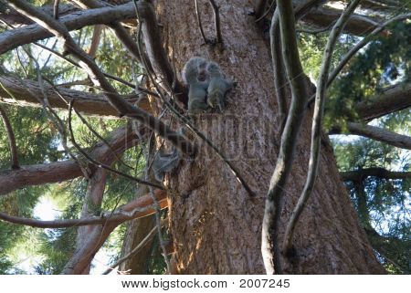 Squirrels Cavorting In Tree
