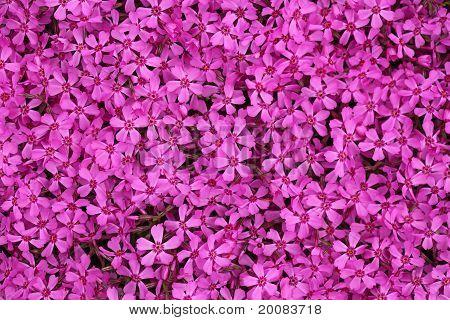 Pink Dianthus Ameria