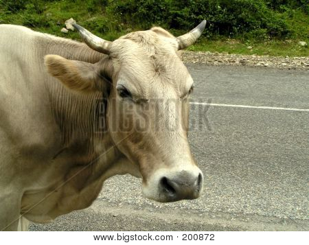 Cow On A Road
