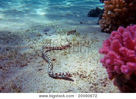Spotted Snake Eel