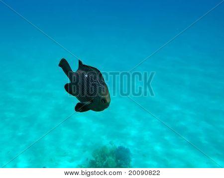 Three-spot Dascyllus At The Red Sea Coral Reef