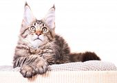 Portrait of domestic black tabby Maine Coon kitten - 3,5 months old. Cat isolated on white backgroun poster