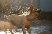 Wet dog jack russell terrier shakes off the water on a sunset background with flying sprays and boke poster