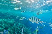 Shoal of fish in Red sea, Egypt. Tropical sea with beautiful ocean ecosystem. poster