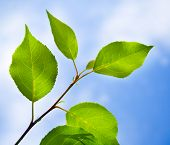 pic of photosynthesis  - Green leaves macro background against blue sky - JPG