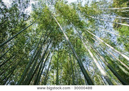 从下面看到的竹林