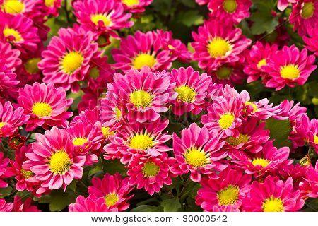粉色雏菊花