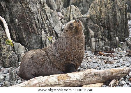 Seal lion