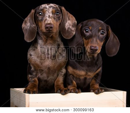 poster of Tvo Dogs dachshunds puppy , dog portrait