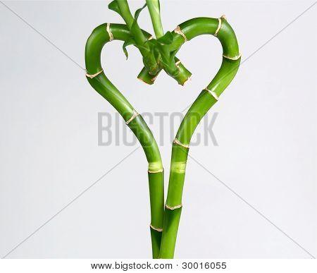 Lucky Bamboo.