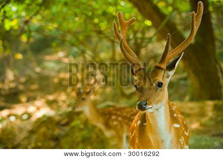 Formosan Sika Deer Forest H