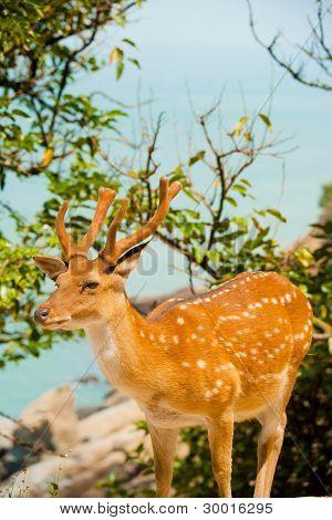 Formosa Sika Deer océano