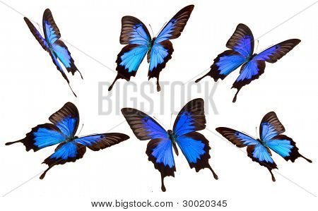 Papilio Ulisses butterfly in many poses, isolated on white background