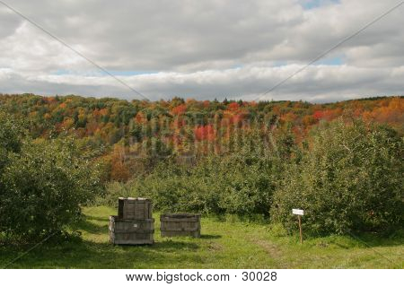 Apple Orchard In Fall
