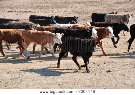 Cattle In Feed Lot