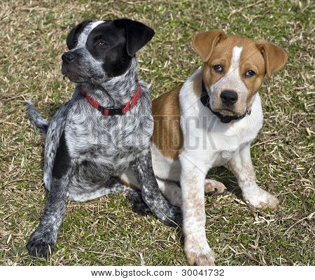 Blue and Red Heeler Pups.