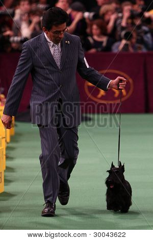 NOVA YORK - 14 de fevereiro: The Scottish Terrier executa no Westminster Kennel Club Dog Show em fevereiro
