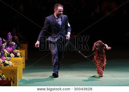 NEW YORK - FEBRUARY 14: Adam Bernardin handles Irish Setter Grand Champion Shadagee Caught Red Handed, Sporting Group winner at Westminster Kennel Club Dog Show on February 14, 2012 in New York City.