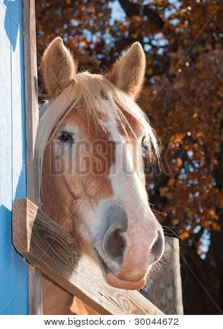 Tall Belgian draft horse peeking at the viewer from behind a blue barn