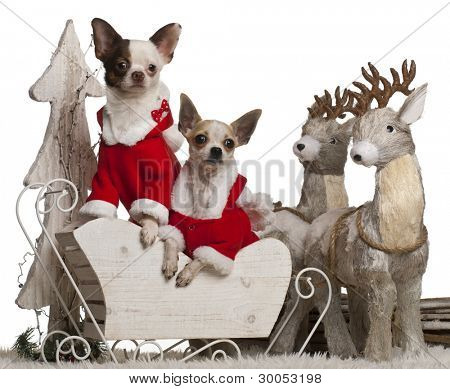 Chihuahuas, 1 year old, in Christmas sleigh in front of white background