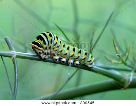 Fat Caterpillar