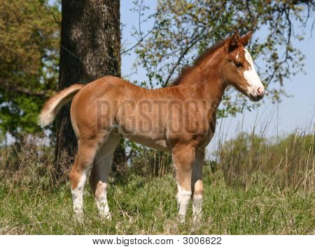 Foal In Pasture