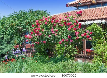 Rosebush in a garden