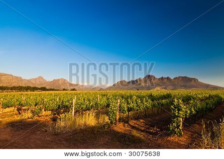 Vineyard In The Hills Of South Africa