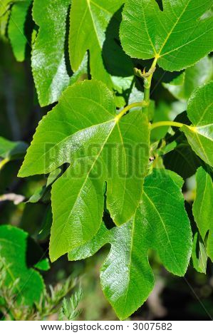 Fresh Green Leaves Of A Fig Tree In The Sunshine