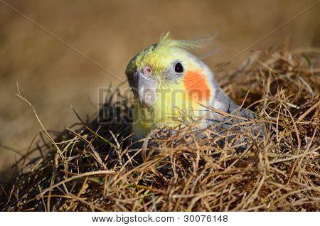 Cockatiel in the Grass