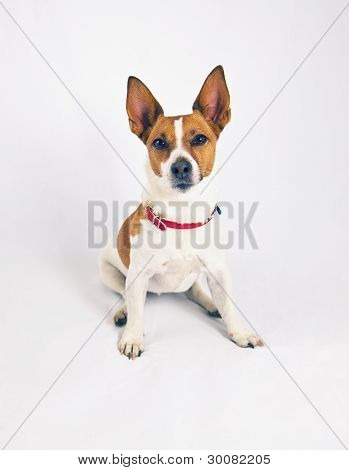 Jack Russell Terrier On A White Background