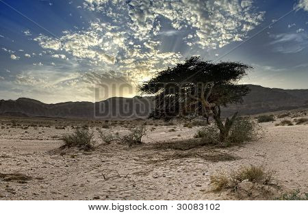 Lonely tree in desert of the Negev ,Israel