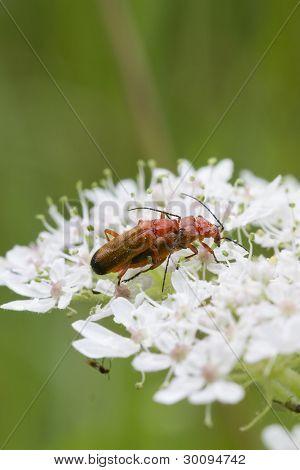 Beetle (rhagonycha Fulva)