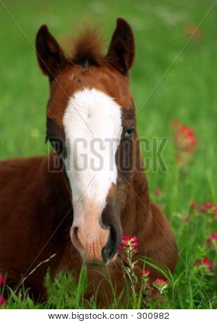 Colt In Wildflowers