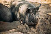 Large Black Pig In Farm. Household Pig Enjoys Relaxing In Dirt. Large Black Pig Resting In Sand. Dom poster