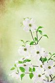 picture of dogwood  - Textured image of a bouquet of white Dogwood blossoms - JPG