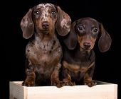 Tvo Dogs dachshunds puppy , dog portrait  poster