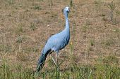 Blue Crane Bird In Field