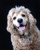 stock photo of spayed  - Portrait of an American Cocker Spaniel dog - JPG
