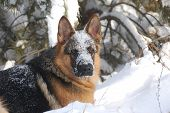 German Shepard Dog in the winter forest.Near Kiev,Ukraine