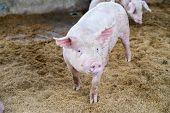 Cute Little Piglets On The Farm, Happy Pigs On Pig Farm, Mini Pigs Farm, Selective Focus. poster
