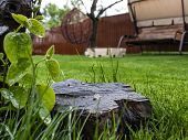 Green Grass And Wooden Stump In The Yard. Lawn After Watering And Mowing poster