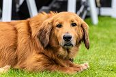 Patient Mixed Breed Golden Retriever And Basset Hound Dog Resting On Park Grass With Adorable Expres poster